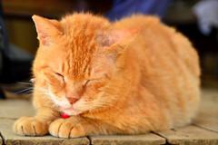 / Japanese Tabby Cat  (Dakiny) Tags: field animal animals june japan cat mammal tabby yokohama     rainyseason straycats tabbycat    japanesecat    2013      petanimal aobaku     2013   shimoyamotocho  yanimotoseseragifureaipromenade