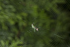 Spider eating series 14 (Richard Ricciardi) Tags: spider eating web spinne araa  araigne ragno timeseries     gagamba    nhn  spidertimeseries