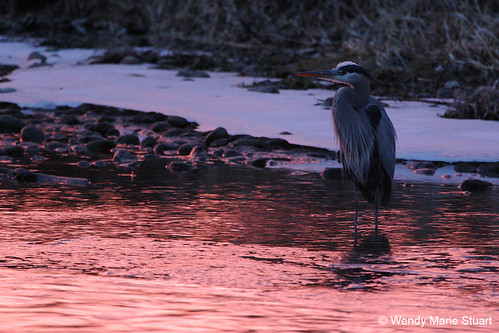 Photo - Blue Sunset - Great Blue Heron along Boulder Creek