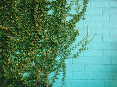 Ivy (mlee525) Tags: blue wall losangeles ivy uploaded:by=flickrmobile flickriosapp:filter=nofilter