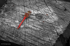 Ruddy Darter (Sympetrum sanguineum) in Venray, The Netherlands (Frank Crooijmans) Tags: netherlands animal animals insect insects nl dieren dier animalia limburg insecten odonata libellulidae insecta libellen ruddydarter sympetrum sympetrumsanguineum bloedrodeheidelibel canoneos40d merselo korenbout korenbouten libellulidaefamily ef100mmf28lmacroisusm insectaclass odonataorder animaliakingdom sympetrumgenus sympetrumsanguineumspecies