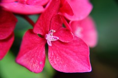 Flower (alyrees) Tags: life pink red white flower macro nature leaves petals nikon natural dslr d3100