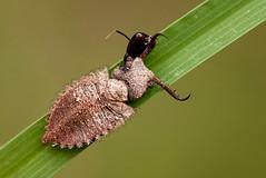 Death of an Antlion (zimbart) Tags: africa insects zimbabwe neuroptera ascalaphidae hippopools tmesibasis tmaesibasislacerata