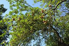 550 Jahre Meggerdorf - Apfelbume am Gut Johannisberg (66) (Chironius) Tags: trees tree fruit germany deutschland rboles boom fruta arbres rbol alemania frukt albero frutta frucht bume allemagne arbre rvore baum apfel trd germania  schleswigholstein rosales ogie aa  pomie malus rosaceae buah   meyve owoc  niemcy pyrinae  rosoideae rosids    stapelholm meggerdorf rosengewchse pomienie rosenartige kernobstgewchse pyreae szlezwigholsztyn fabids
