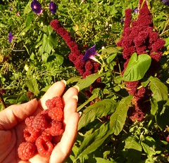 Raspberries - My favourite breakfast (hardworkinghippy) Tags: france bio organic permaculture jardinage bourrou lafermedesourrou edibleforestgarden foretcomestible