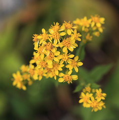 Solidago virgaurea var. leiocarpa / () (TANAKA Juuyoh ()) Tags: flower high hires resolution 5d hi  res hakuba nagano markii  happoone  leiocarpa solidago virgaurea         kitaazumi