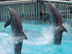 (sbingham.seabird) Tags: dolphin maui hiiaka 9713 flickrandroidapp:filter=none backtailwalk