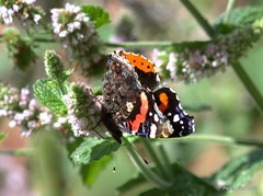 Red Admiral. Late September. Wirral (Peter J. Ham.) Tags: life flowers red nature gardens canon butterfly ham lepidoptera 7d admiral wirral topaz denoise underwings