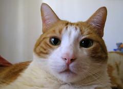 278-April'13 (Silvia Inacio) Tags: cat tabby gatos gato bigodes