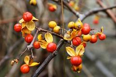 Autumn Berries (Read2me) Tags: she autumn orange yellow berry dof bokeh cye gamewinner friendlychallenges thechallengefactory pregamechallengewinner
