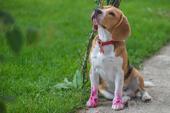 Octobre rose (raphael.labourel) Tags: dog chien pets beagle iso animaux isotop