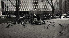 Lunch (Jotuntroll Photography) Tags: park nyc newyorkcity trees usa ny cars lady zeiss america 35mm buildings t f14 pigeons benches f8 ze carlzeiss thomaspainepark canoneos5dmarkii canon5dmarkii