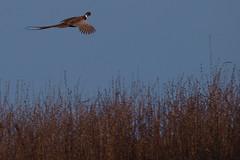 Pheasant in flight Venus Pools 08122013 2 (Tim J Preston) Tags: bird shropshire birding society birdwatching birder ornithological
