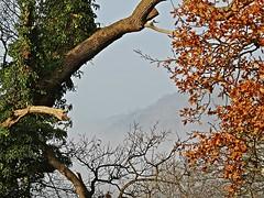 Green, Copper And Mist (Deepgreen2009) Tags: trees mist green oak framed branches ivy surrey hills copper beech