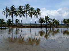 Rice Fields (Ardy Hadinata Kurniawan) Tags: reflection tree indonesia java coconut olympus kelapa sawah tg2 jawabarat