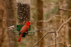 Red & Gray (tommaync) Tags: trees red white black oneaday birds nc nikon birdseed cardinal wildlife january seed northcarolina feeder finch photoaday pictureaday 2014 chathamcounty d40 project365 project365005 project365010514