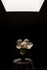 still magnolia (benpearse) Tags: life flowers still large australia bluemountains nsw magnolia katoomba benpearse