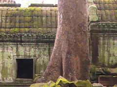 Cambodia-Angkor Wat temple+tree-15