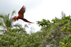 Scarlet Macaw (Be Golden) Tags: nature birds nikon costarica natural wildlife macaw birdwatcher scarletmacaw osapeninsula