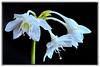 Eucharis  -  Amazonaslilie -  Eucharist Amazonica, Amazon Lily. (Sonnenblume♥) Tags: amazonlily eucharis amaryllisgewächse mygearandme mygearandmepremium amazonaslilie herzenskelch eucharistamazonica