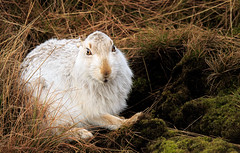 Lepus Timidus (markrellison) Tags: winter wild animal animals mammal hare northwest unitedkingdom wildlife peakdistrict peak wintercoat f80 washing darkpeak lightroom bleaklow 600mm mountainhare 1800sec iso2000 lepustimidus lr4 canoneos5