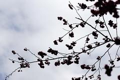 Cherry blossom (ddsnet) Tags: plant flower sony taiwan 99 cherryblossom sakura   taoyuan  slt      singlelenstranslucent 851 99v