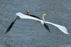 Double Delight (ronniegoyette) Tags: birds waterfowl greatblueheron greategret morrobayestuary flyingbirds