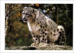 postcard - snow leopard, Bronx Zoo (Jassy-50) Tags: newyorkcity newyork animal zoo bronx postcard leopard bronxzoo snowleopard