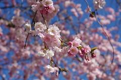 Cherry blossom (rotabaga) Tags: göteborg pentax sweden gothenburg cherryblossom sverige k5 japansktkörsbärsträd
