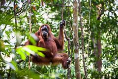 Ratna 4794 (Ursula in Aus (Resting - Away)) Tags: animal sumatra indonesia unesco orangutan ape greatape bukitlawang gunungleusernationalpark earthasia