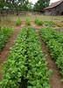 vegetable garden (WILSON-53) Tags: family garden corn herbs tomatoes harvest rows spices peas peppers crops homegrown watering greenleaf spicegirl stashbox cashcrop happygarden specialgarden legalcrop