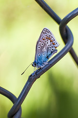 Silverblåvinge. (Marcvs Nilsson) Tags: blue macro canon butterfly insect mark tubes ii 5d extension amandas amandus polyommatus