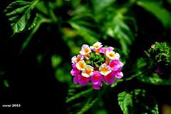 cambar - kissimmee - 30 06 2015 (4) (toyofukuoscaryoshinori) Tags: flor