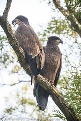 juvenile bald eagles (tapervern) Tags: baldeagle ornithology juvenilebaldeagle canon1dmark3 vernwhite