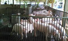 การเลี้ยงหมู ใช้แม่ TS1 100 ตัว เป็นฐานผลิตลูกสุกร ประกิจฟาร์ม ตอนที่ 1