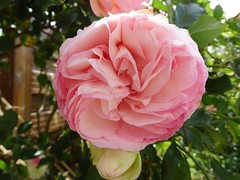 20150613f Rose Pierre de Ronsard (@bodil) Tags: pink flowers france rose fleurs normandie pierrederonsard
