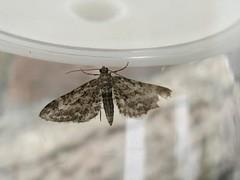 Narrow winged pug ? (little-acorns) Tags: garden insect wildlife moth july isleofman lightbox manx ramsey invertebrate gms lepidoptery lighttrap eupitheciananata narrowwingedpug gardenmothscheme