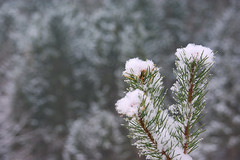 We rise and we grow (natural illusions) Tags: winter february snow white closeup pentax k200d rawtherapee gimp imagemagick dof slovenia europe lb1415 allrightsreserved green nature conifer evergreen needles bokeh depthoffield pine outdoor flora cool naturalcolors forest