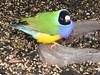 Gouldian Finch, Chloebia gouldiae (8) (Herman Giethoorn) Tags: gouldian finch songbird bird