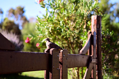 #Cache!! (luenreta) Tags: cache flickrfriday paloma ave pájaro tranquera bird