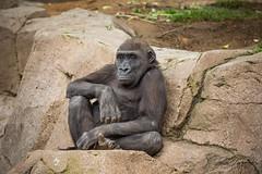 Joanne (ToddLahman) Tags: joanne westernlowlandgorilla gorilla sandiegozoosafaripark safaripark canon7dmkii canon canon100400 closeup outdoors mammal escondido
