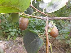 Ebenaceae: Diospyros sp. 4 (K. Zyskowski and Y. Bereshpolova) Tags: ebenaceae diospyros persimmon fruit china