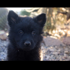 Sun Bear the 7 Week Old Chow Puppy (Immature Animals) Tags: arizona cactus rescue baby black animal puppy nose eyes desert tucson fluffy ears center marshall pima derek bark chow care chowchow koalition pacc