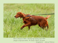 ds26 (Glenkar) Tags: dog gundog