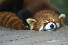 IMG_6562 (Paige Salmon) Tags: sleeping cute nature animal photography panda adorable sleepy redpanda rogerwilliamszoo rodgerwilliamsparkzoo