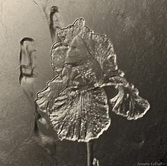 Iris Impression (Annette LeDuff) Tags: flora lulu inverted digitallyaltered ruby3 afeastformyeyes photoannetteleduff annetteleduff afeasttotheeyes leduffcameraart awesomelycreativeforedinei 05302013