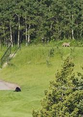 Black Bear AND Cougar! (rockymtnchick) Tags: bear wild summer canada nationalpark nikon july sigma bigcat alberta golfcourse puma wildcat 500mm cougar blackbear mountainlion watertonlakes waterton 2012 unbelievable wildcougar d7000 deecresswell deecresswellphotography