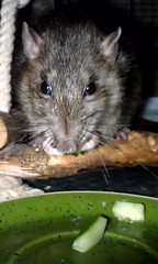 Sylvanas eat cucumber (Scratchblack) Tags: pet cute animal wow rodent rat sweet cucumber adorable lovely charming husdjur beloved djur agouti rtta sylvanas gnagare