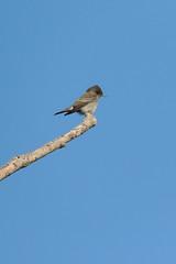 Western Wood-Pewee (Boulder Flying Circus Birders) Tags: wildbirdcenter westernwoodpewee birdwalk contopussordidulus stevefrye westernwoodpeweeboulder westernwoodpeweecolorado wildbirdboulder wildbirdcolorado westernwoodpeweebouldercounty