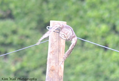 LittleOwl_15062013_1a (Kim Wall Photography (Purplesun2001)) Tags: somerset littleowl nyland kimwallphotography
